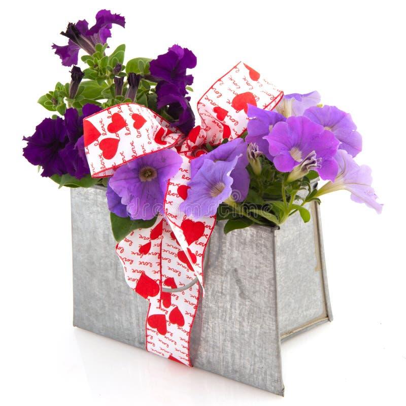 Purpurrote Petunieanlagen als Geschenk stockfotos