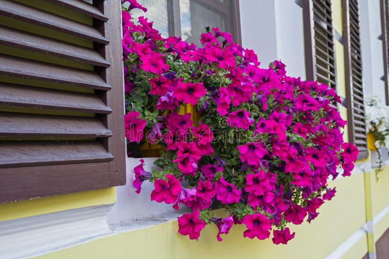 Purpurrote Petunien in einem Kasten auf dem Fenster lizenzfreies stockfoto