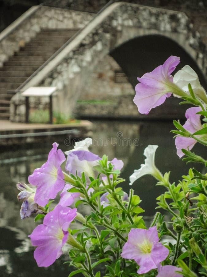 Purpurrote Petunien mit Brücke Sans Antonio Riverwalk im Hintergrund stockfotos