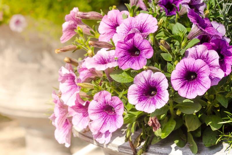 Purpurrote Petunienblumen im Garten stockbild