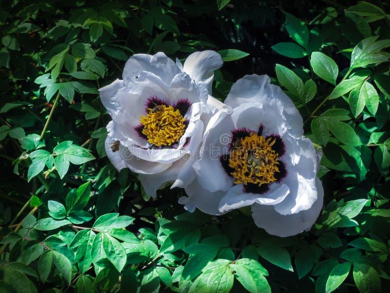Purpurrote Pfingstrosenblume und -bienen stockfoto
