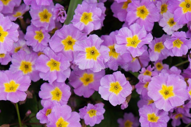Purpurrote Primel oder pruhoniciana mit Gelb lizenzfreie stockbilder