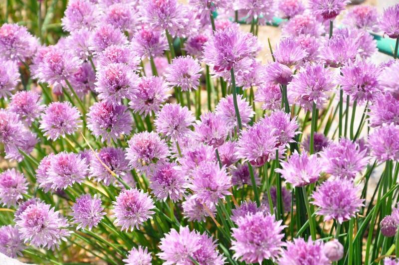Purpurrote rosa Blumen lizenzfreie stockfotografie