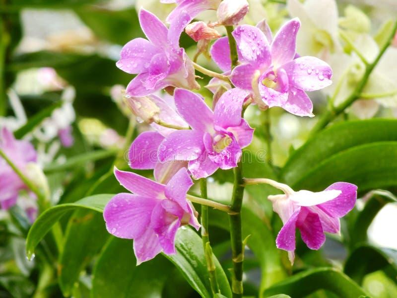 Purpurrote rosa Orchideenblumen mit Niederlassungsabschluß oben lizenzfreie stockfotos