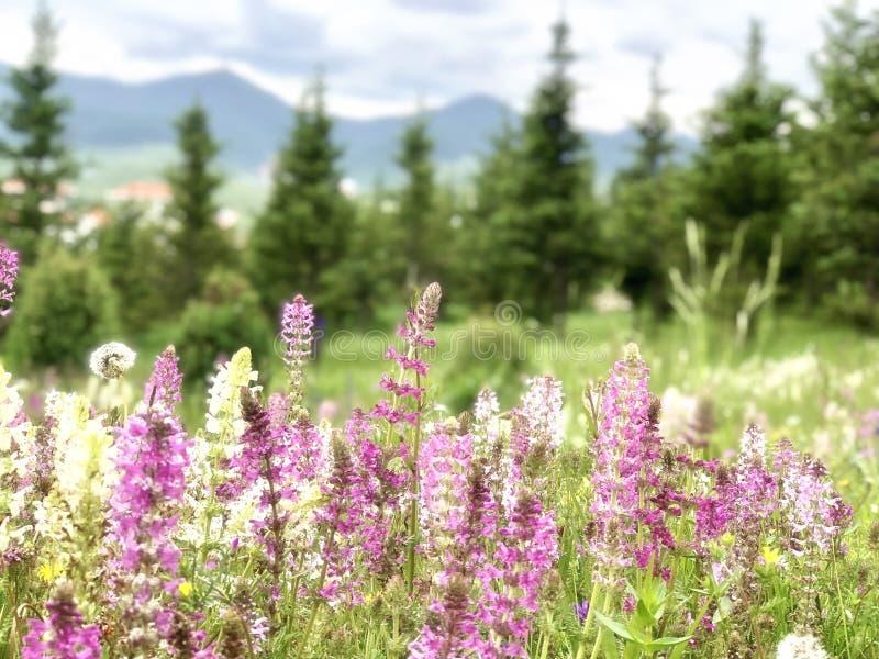 Purpurrote Rosa- und weißegrasblumen blühen im Frühjahr der schöne scenary Berg der Jahreszeit stockbilder