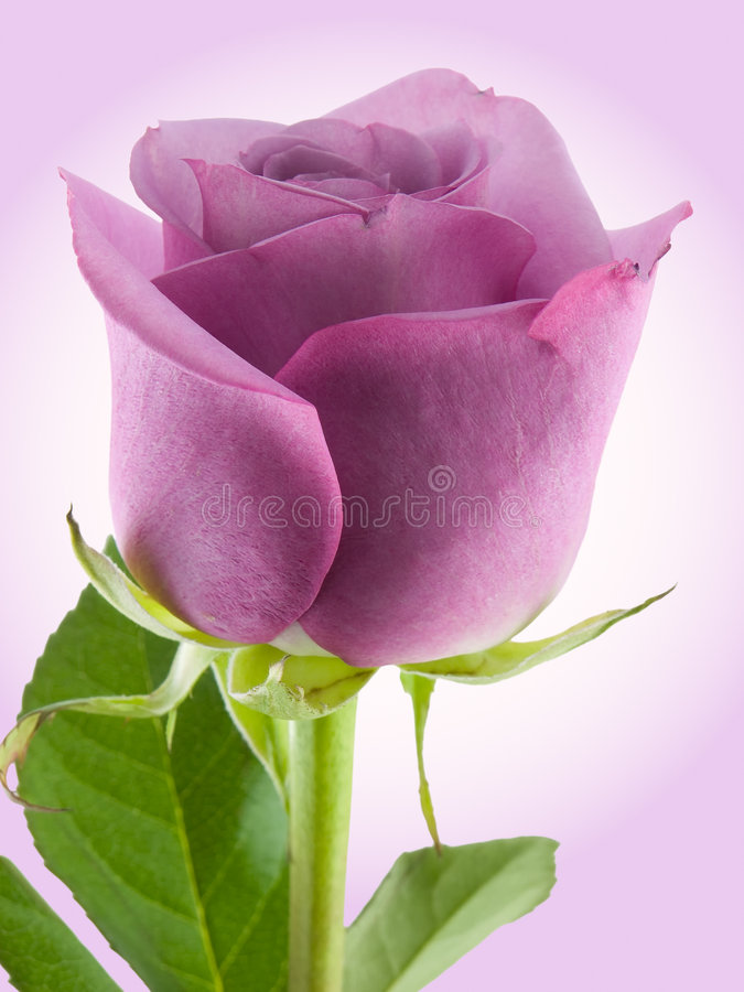 Purpurrote Rose lizenzfreie stockfotografie