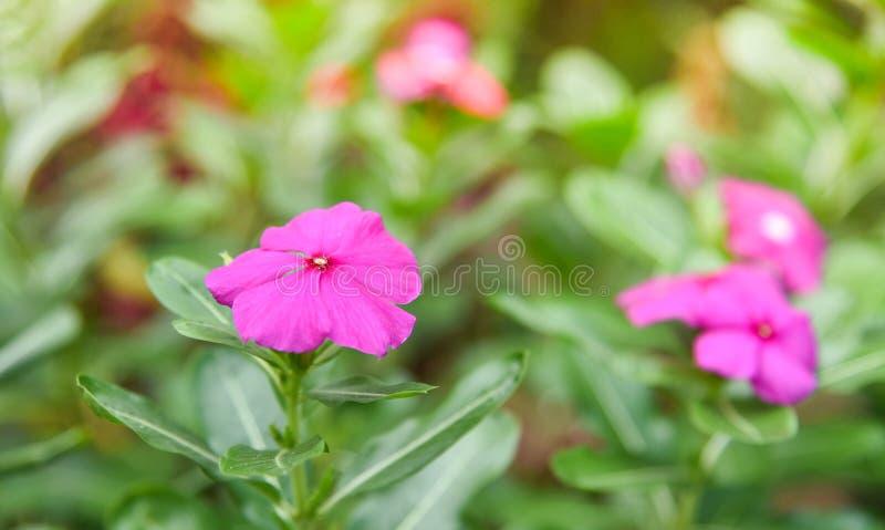 Purpurrote Rose Periwinkle im Blumen-Garten stockbilder