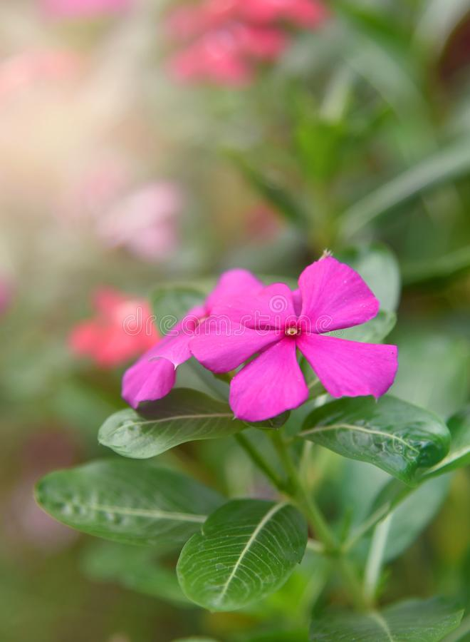 Purpurrote Rose Periwinkle im Blumen-Garten lizenzfreie stockbilder