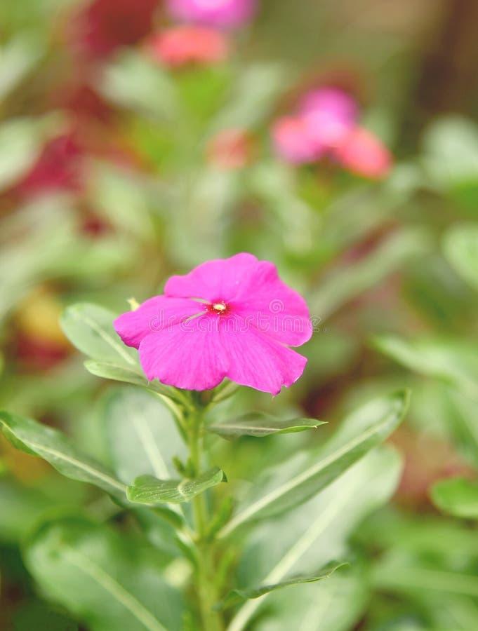 Purpurrote Rose Periwinkle im Blumen-Garten lizenzfreie stockfotos