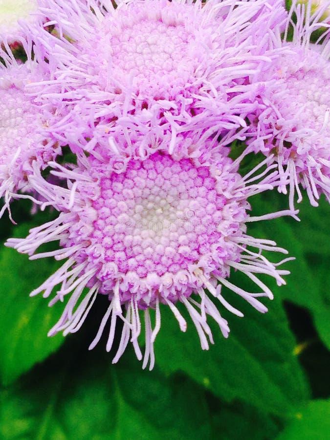 Purpurrote Schönheit stockbild