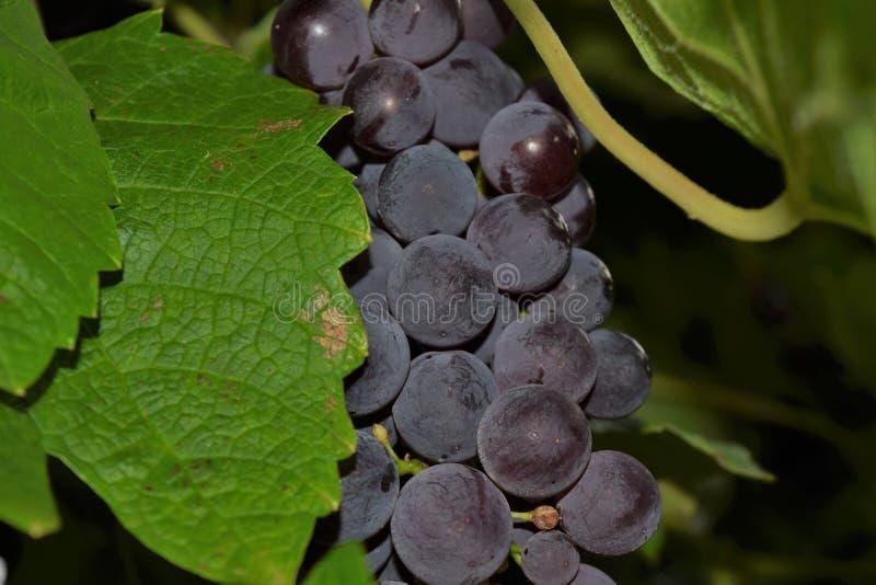 Purpurrote Trauben auf der Rebe stockfotos