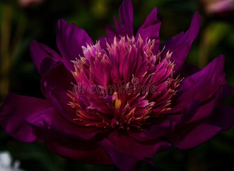 Purpurrote tropische Blume eingelassener Garten im Freien lizenzfreie stockfotos