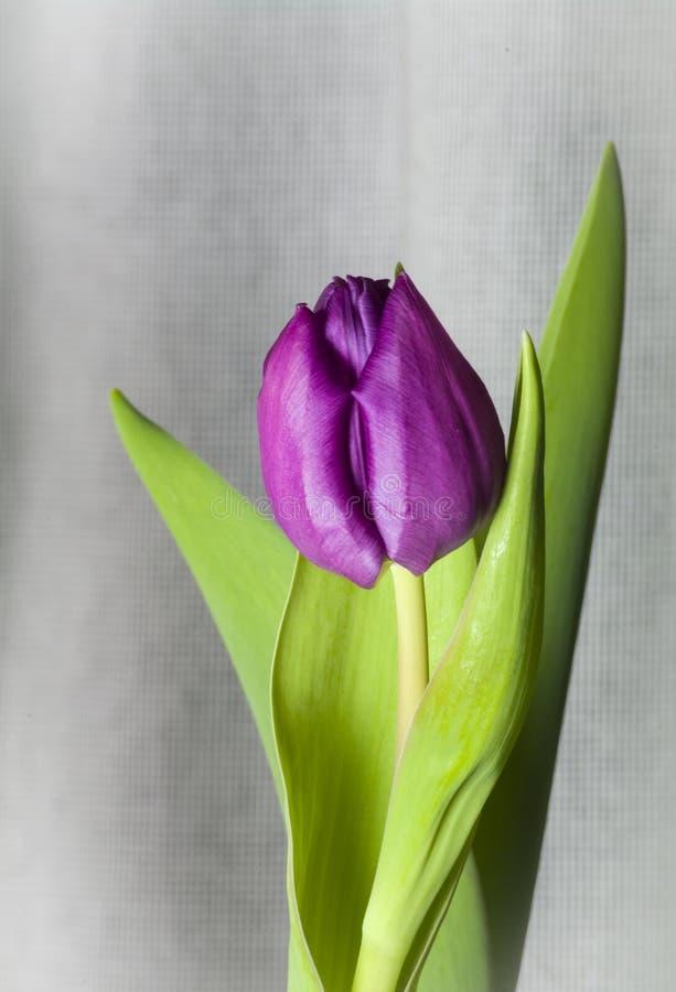 Purpurrote tuilip Grünblätter, Leinen lizenzfreies stockbild