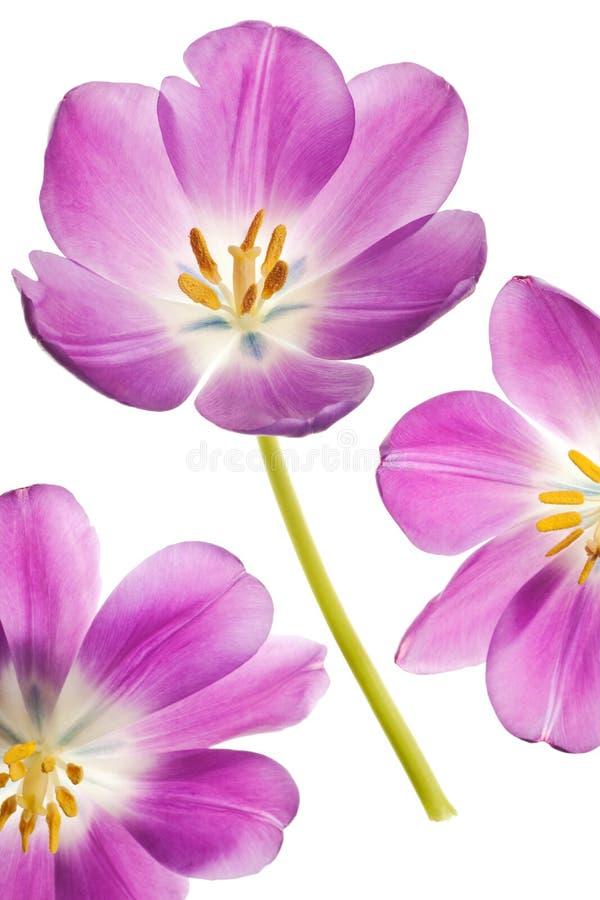 Purpurrote Tulpe stockbild