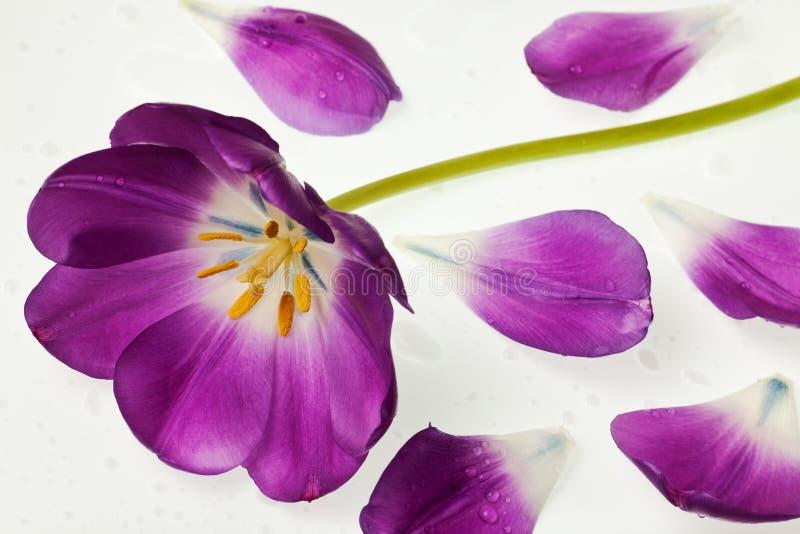 Purpurrote Tulpe getrennt stockfotos