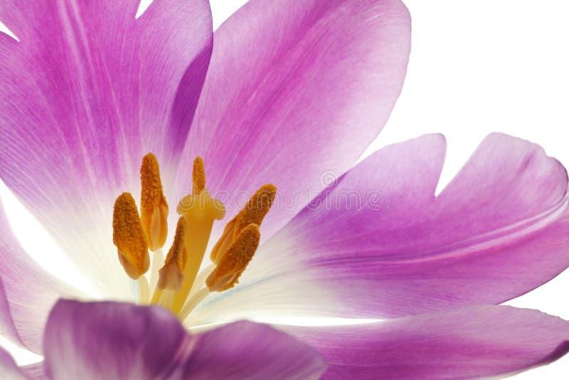 Purpurrote Tulpe getrennt stockbild
