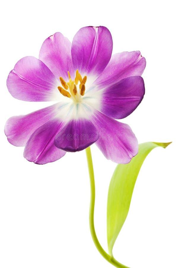 Purpurrote Tulpe getrennt lizenzfreie stockfotos