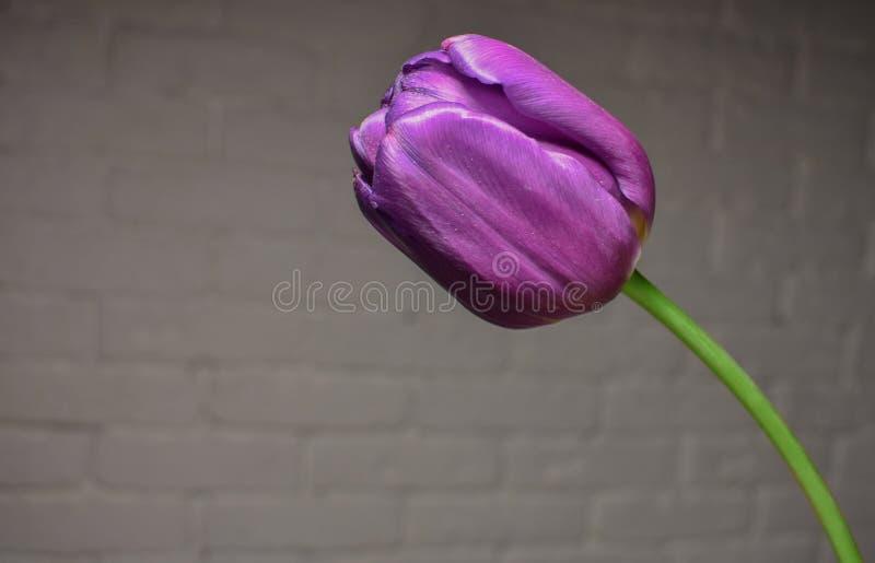 Purpurrote Tulpe nahe den Wänden lizenzfreies stockbild