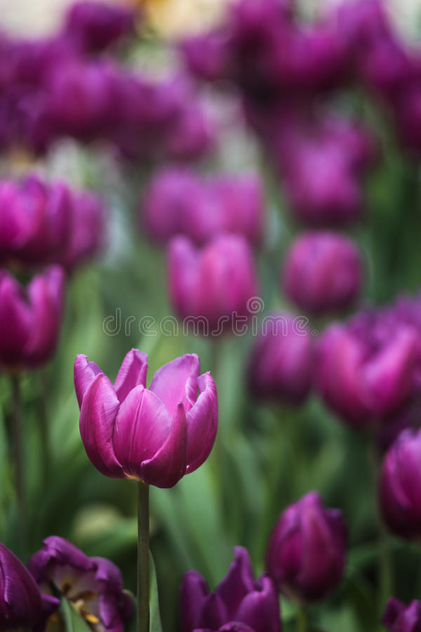 Purpurrote Tulpe 3 (Porträt) lizenzfreies stockbild