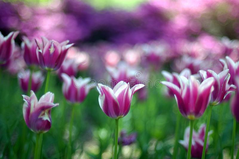 Purpurrote Tulpen lizenzfreie stockfotos