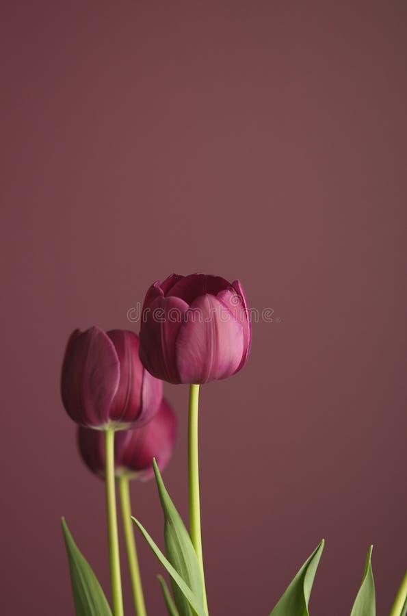 Purpurrote Tulpen auf Purpur 2 stockfoto
