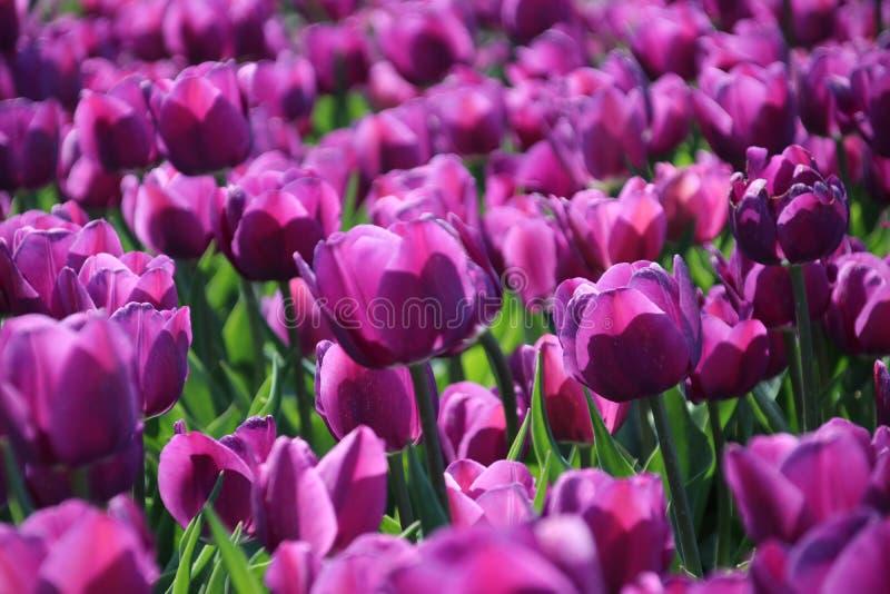purpurrote Tulpen im Sonnenlicht in den Reihen auf einem Blumengebiet in der Oude-Zange stockfotografie