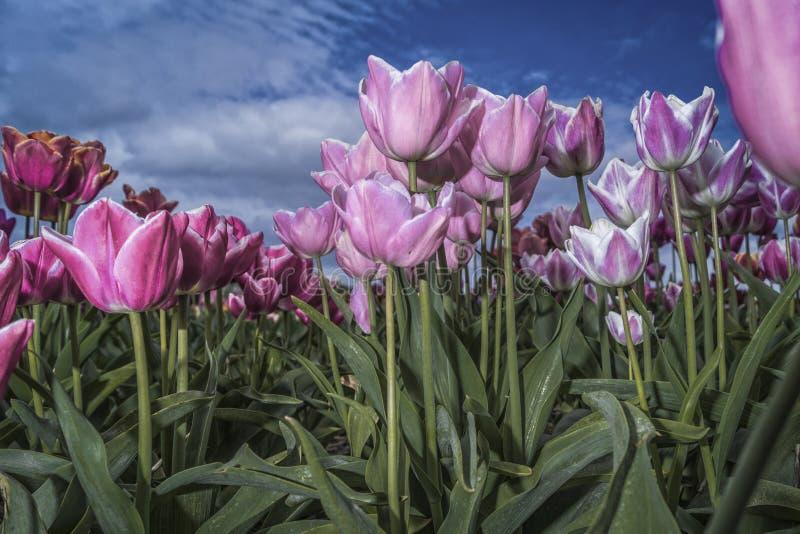 Purpurrote Tulpen und Gr?nbl?tter lizenzfreies stockbild