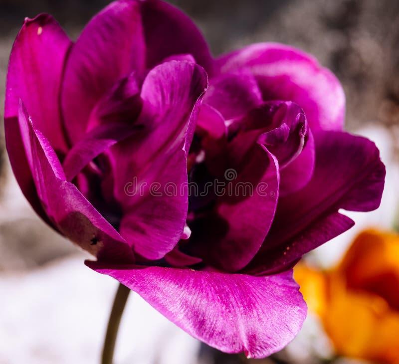Purpurrote Tulpenblume im Fr?hjahr lizenzfreies stockbild