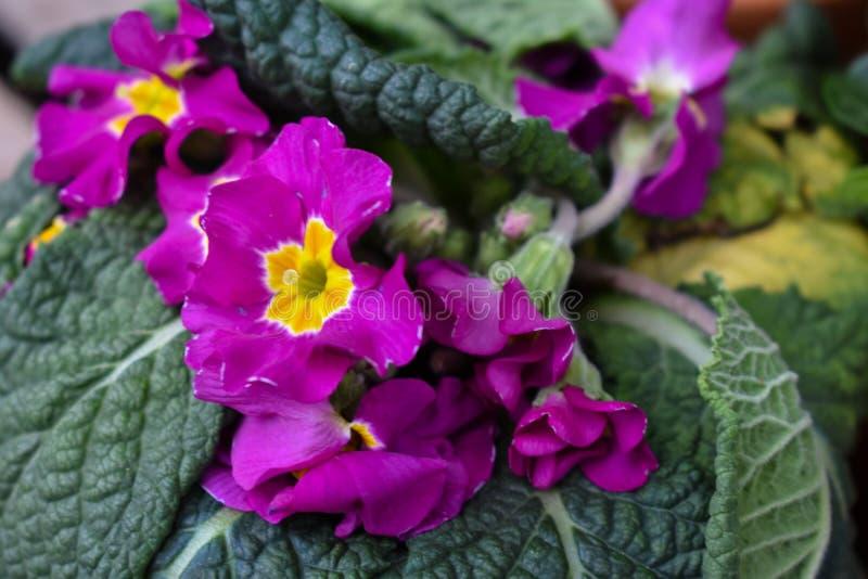 Purpurrote u. gelbe bunte Garten-Blume stockfoto