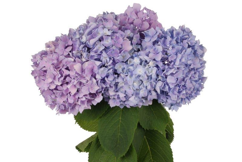Purpurrote und blaue Blumenhortensie (Beschneidungspfad) stockfotos