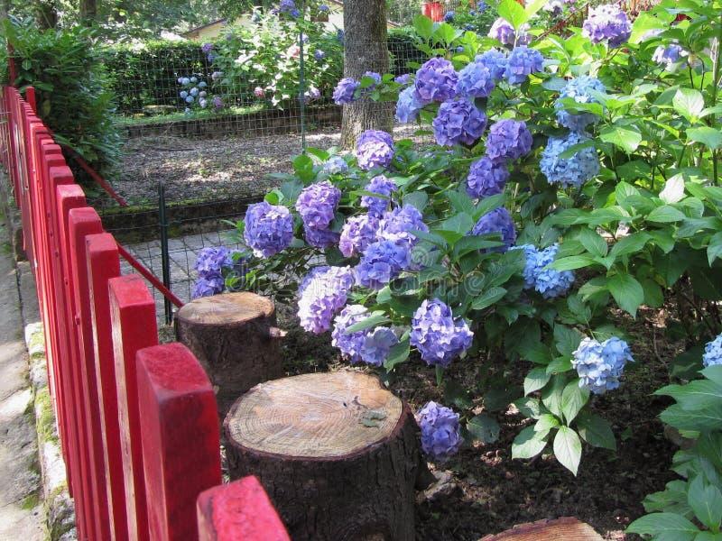 Purpurrote und blaue Hortensie blüht (Hortensie macrophylla) in einem Garten in der Sommerzeit lizenzfreie stockfotos
