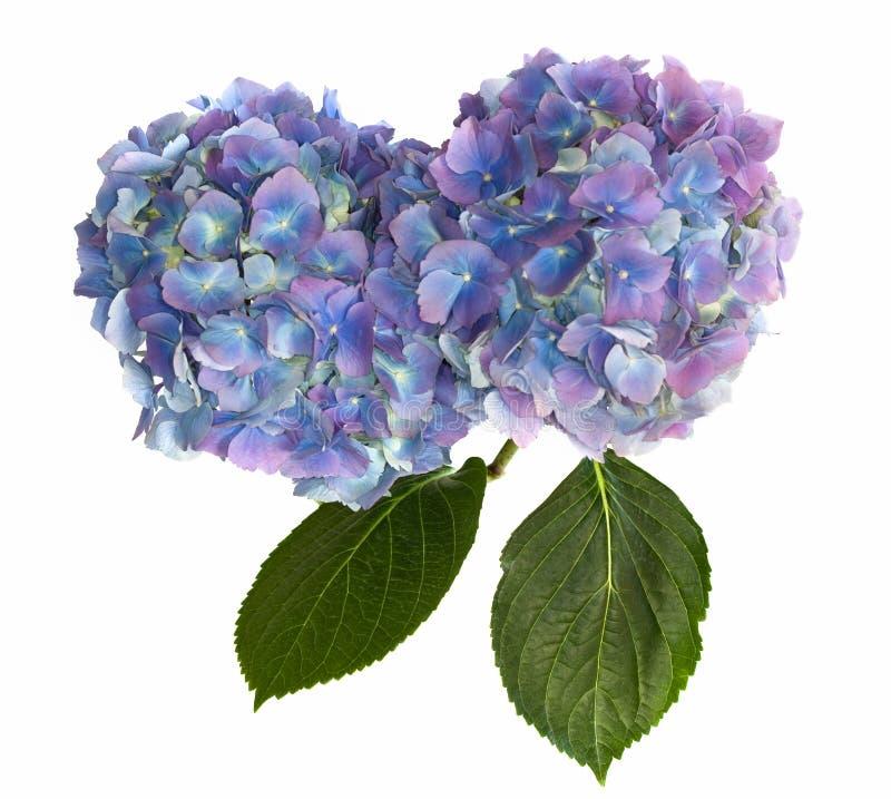 Purpurrote und blaue Hydrangea-Blumen-Köpfe auf Weiß stockfotos