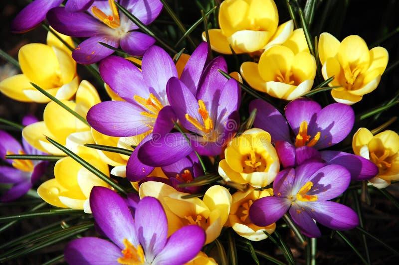 Purpurrote und gelbe Frühlingsblumen lizenzfreies stockbild