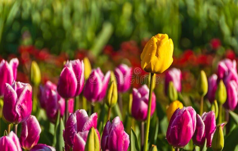 Purpurrote und gelbe Tulpen stockbild