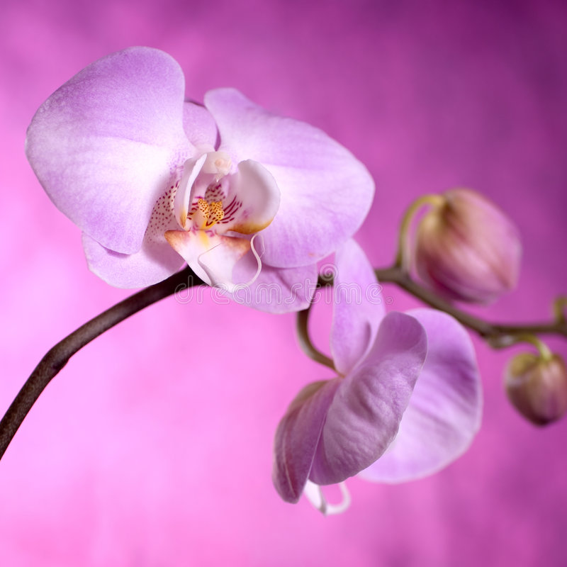 Purpurrote und rosafarbene Orchideen lizenzfreies stockbild