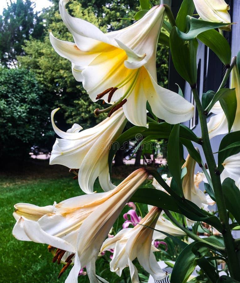 Purpurrote und weiße Blume Lily Tree Images auf hohen Stämmen lizenzfreie stockbilder