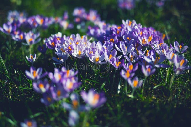 Purpurrote und weiße Petaled Blumen stockbild