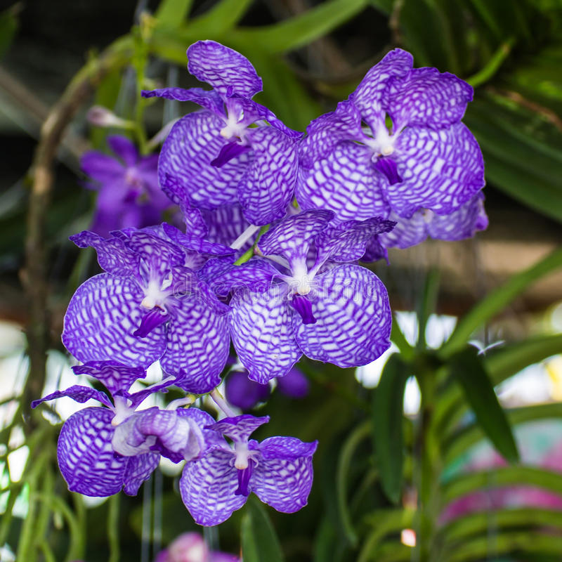 Purpurrote Vanda Orchids stockfoto