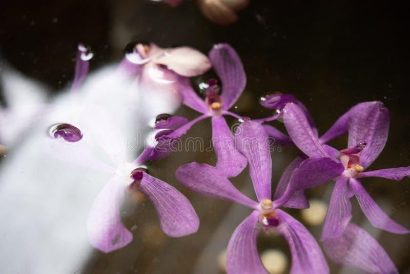 Purpurrote violette Orchideen schwimmen in den Teich mit sich reflektieren vom Licht den mittleren Tag stockbild