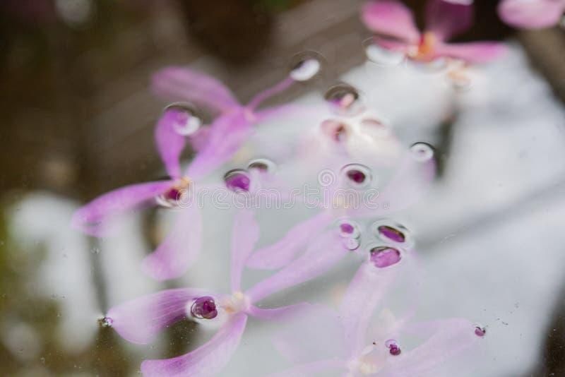 Purpurrote violette Orchideen schwimmen in den Teich mit sich reflektieren vom Licht den mittleren Tag stockbilder