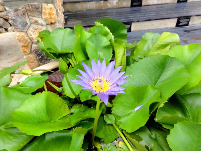 Purpurrote Wasserblume in Thailand stockfoto