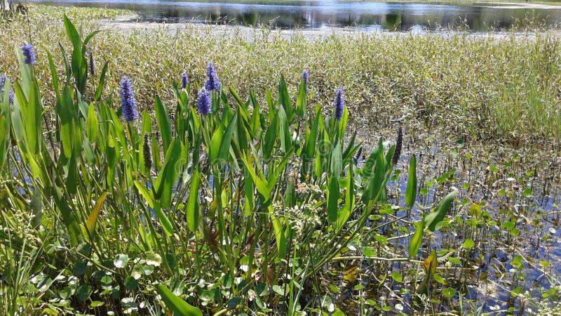 Purpurrote Wasserpflanzen stockfotografie