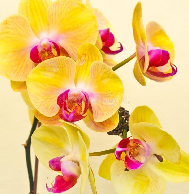 Purpurrote, weiße, gelbe Orchidee stockfotografie