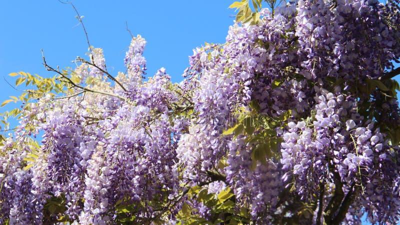 Purpurrote weiße Glyzinie, die während des Frühjahres blüht stockbild