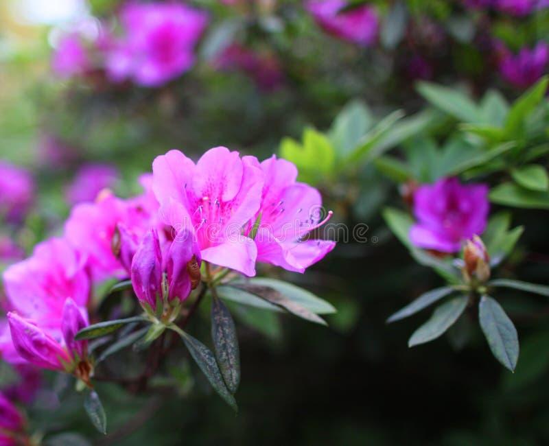 Purpurroter Azaleenrhododendron in voller Blüte lizenzfreie stockbilder