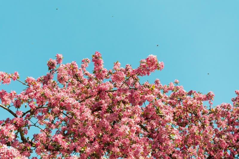 Purpurroter Blütenbaum im Frühjahr mit den kleinen Bienen, die herum fliegen und Hintergrund des blauen Himmels stockfotografie