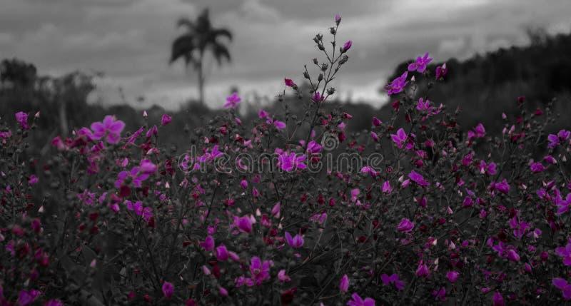 Purpurroter Blumen Whit BW-Hintergrund lizenzfreie stockfotografie