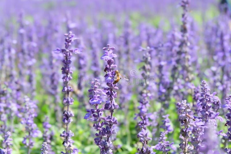 Purpurroter Blumengarten für den Hintergrund stockfotografie