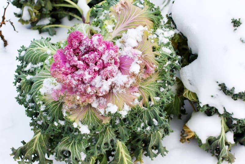 Purpurroter Blumenkohl im Schnee lizenzfreie stockfotos