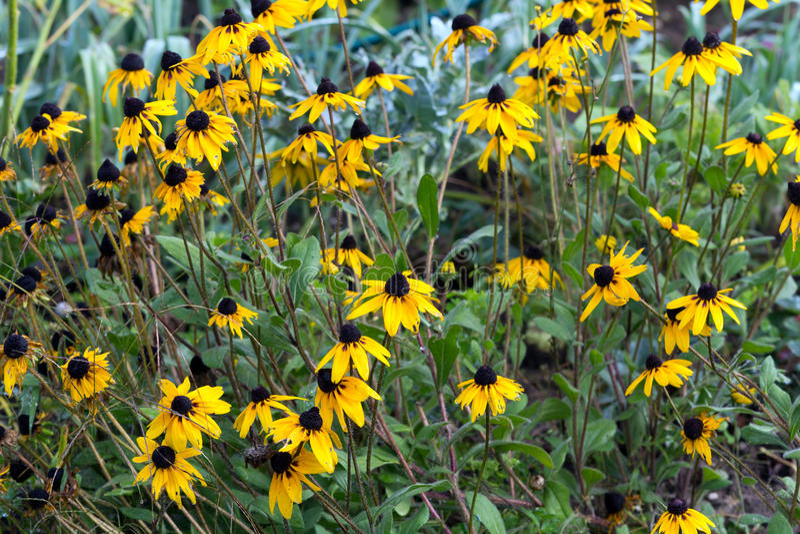 Download Purpurroter Coneflower- Echinacea - Im Garten Stockbild - Bild von nave, blumenblatt: 26368415